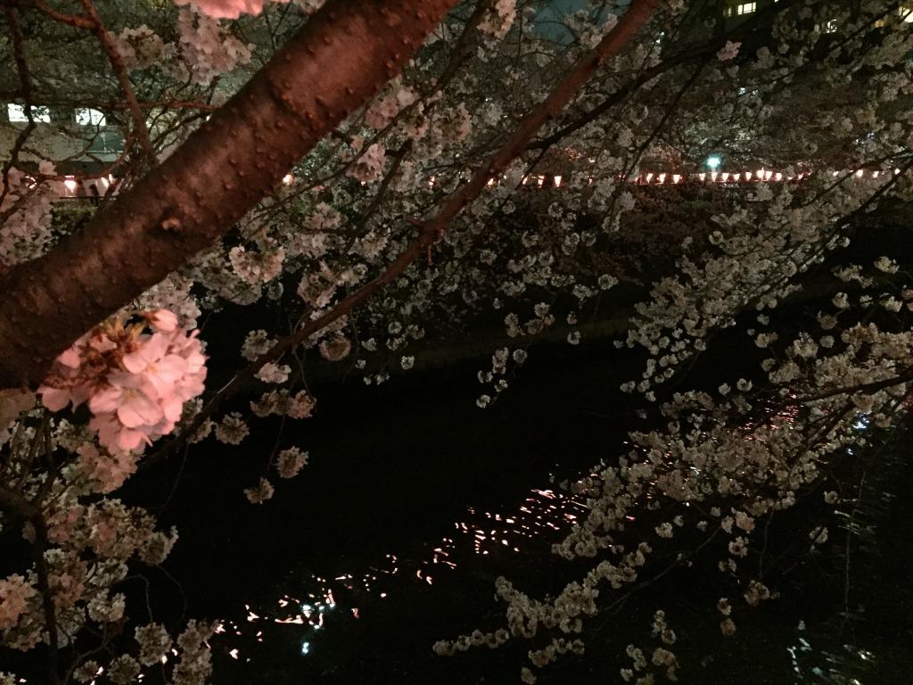 目黒川の夜桜その2
